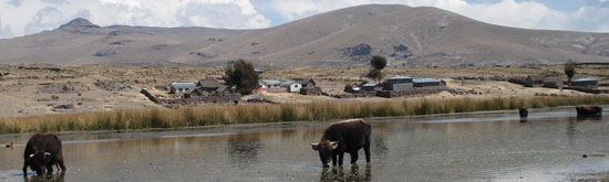 Titicaca---Cows-in-water.jpg